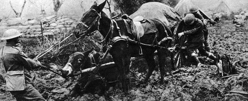 Zaopatrzenie dla angielskich okopów. Na linii frontu, gdy w głębokim grząskim błocie trzeba było dostarczyć żołnierzom żywność lub amunicję, armia brytyjska używała często osłów i, przedstawionych na fotografii, mułów. O wiele mniej wymagające, bardzo wytrzymałe, dobrze sprawdzały się w ekstremalnych warunkach.