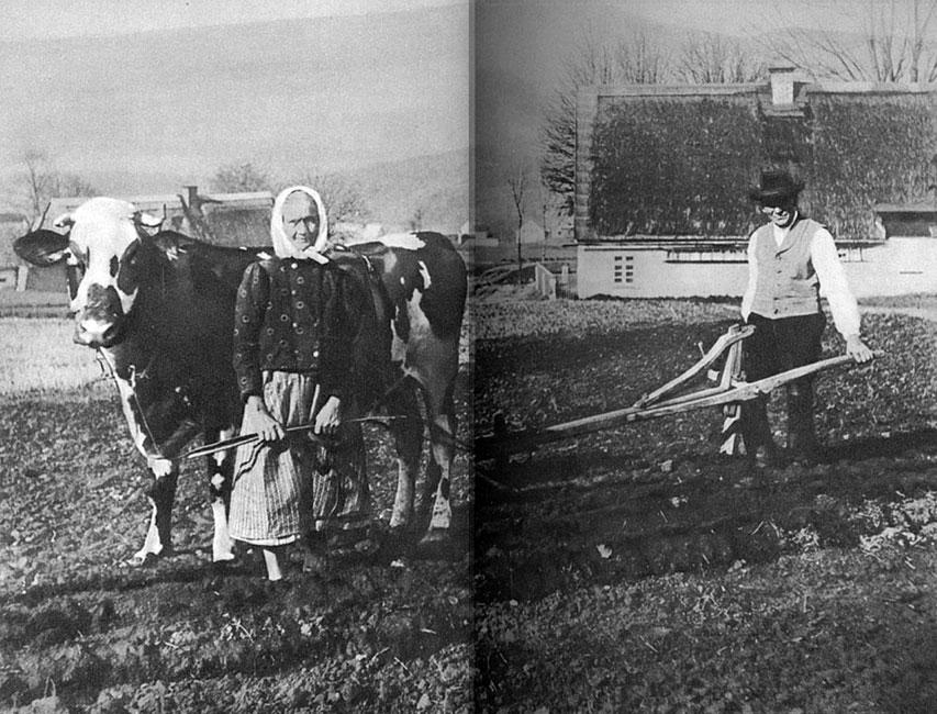 Ciężka codzienność. Krowa zaprzężona do pługa. Na front odeszli młodzi i silni. Wojsko skonfiskowało konie. Trzeba było jednak uprawiać ziemię, by wyżywić rodzinę i zwierzęta gospodarskie. Władze domagały się do-staw żywności. Trud pracy na roli spadał na barki starych gospodarzy.