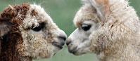 Sygnały porozumiewawcze zwierząt